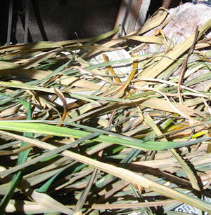 iris and lily leaves used for basketry